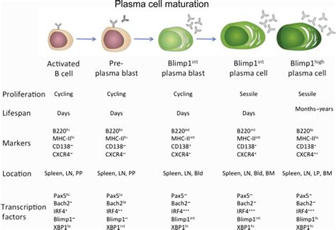 Human Immunity in Brief [Part 7]: Maturation Function and