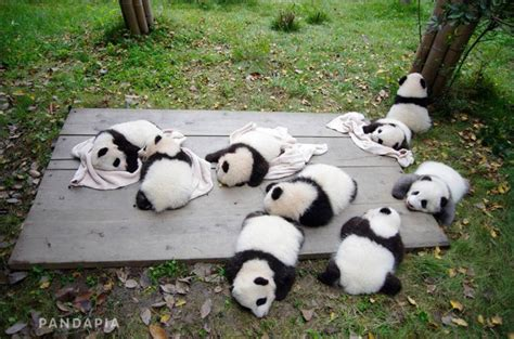 9 cubs from 6 panda mothers in Chengdu