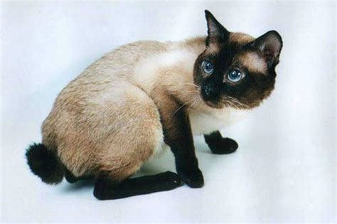 Cat Breeds With Short Tails - Pictures