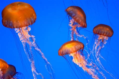 Types Of Jellyfish   Types Of